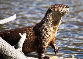 River Otter Project A Success In The Finger Lakes Region