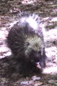 Porcupine ambles down the Finger Lakes Trail.