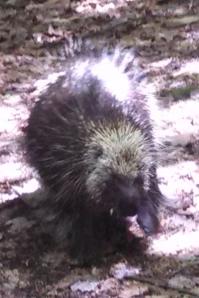 Porcupine ambles down the Finger Lakes Trail.