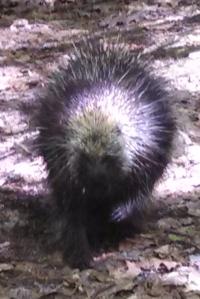 Porcupine spots a hiker & puffs up.